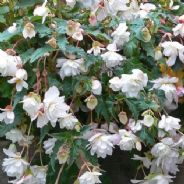 Begonia F1 Illumination White - Hanging Basket type - 20 seeds